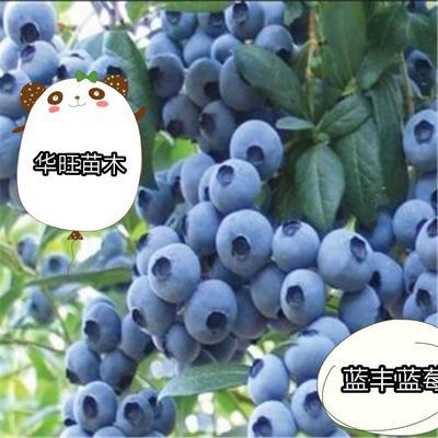 这是一张关于蓝丰蓝莓苗 的产品图片