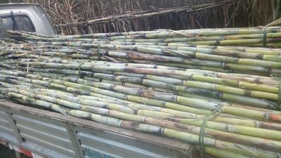 重庆江津区青皮甘蔗 3 - 4cm 2.5 - 3m