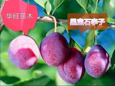 这是一张关于黑宝石李子苗 的产品图片