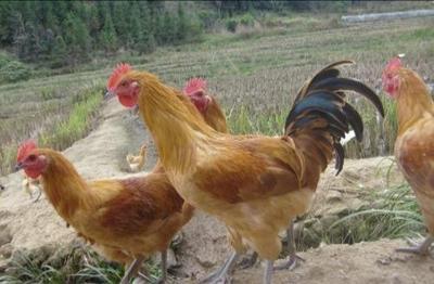这是一张关于土鸡 5-6斤 统货 的产品图片