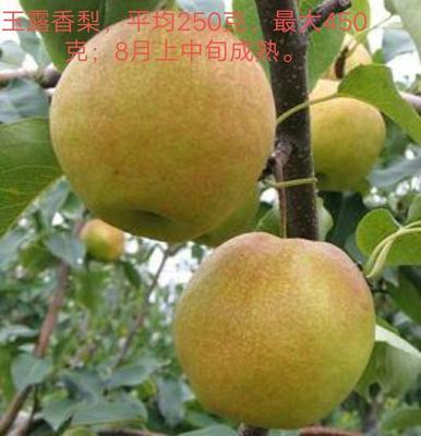 这是一张关于玉露香梨树苗 0.8米 的产品图片
