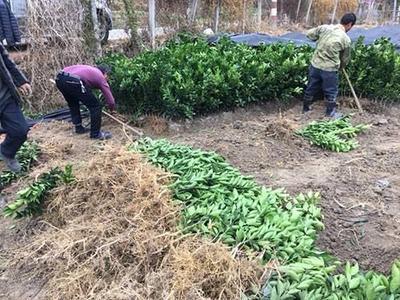 这是一张关于赣南脐橙苗 移栽苗 0.5米以下 的产品图片