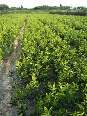 这是一张关于美国糖桔苗 嫁接苗 0.5~1米 的产品图片