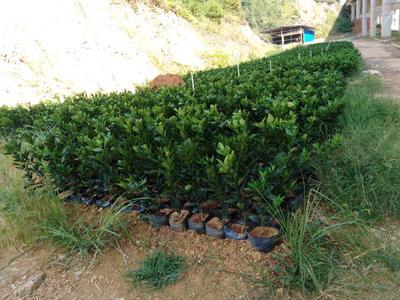 这是一张关于赣南脐橙苗 杯苗袋苗 0.5~1米 的产品图片