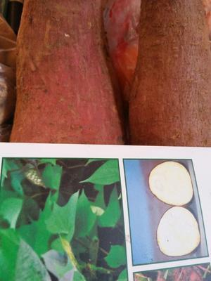 这是一张关于济薯25红薯苗 15~25cm 的产品图片