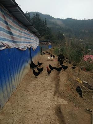 这是一张关于三乌鸡 2-3斤 统货 的产品图片