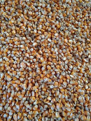 河南省平顶山市鲁山县玉米干粮 净货 水份14%-16%