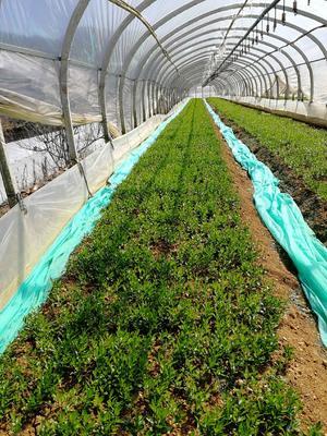 这是一张关于香橙苗 移栽苗 0.5米以下 的产品图片