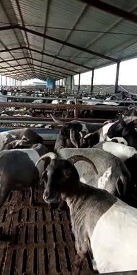 这是一张关于波尔山羊 50-80斤 的产品图片
