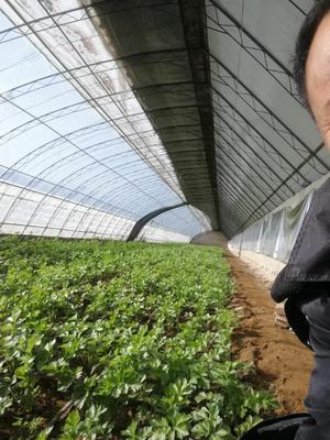 北京延庆县美国文图拉芹菜 45~50cm 1.0~1.5斤 大棚种植