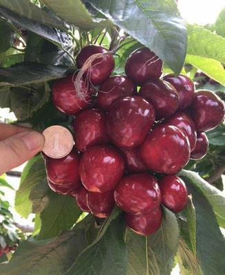 这是一张关于矮化樱桃苗 的产品图片