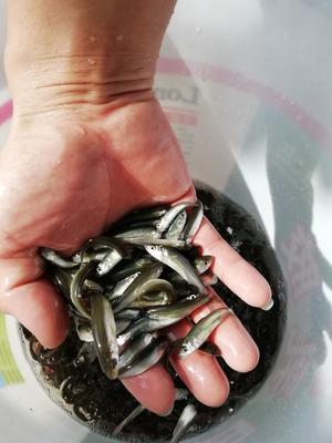 这是一张关于赤眼鳟鱼苗 的产品图片