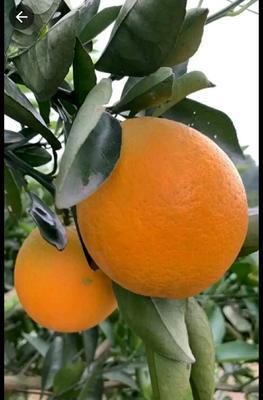 这是一张关于伦晚脐橙苗 嫁接苗 1~1.5米 的产品图片