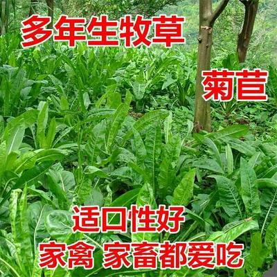 这是一张关于菊苣种子  包衣25元净籽50元的产品图片