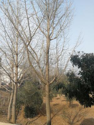 湖北省荆门市钟祥市银杏实生树