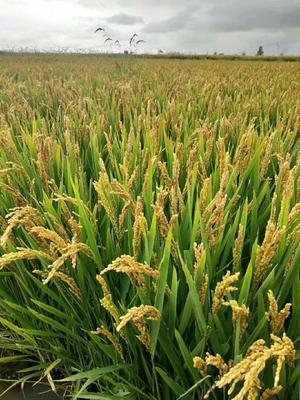 黑龙江省鹤岗市向阳区 稻花香大米 一等品 一季稻 粳米