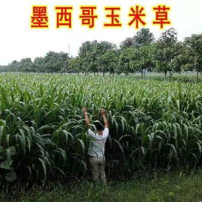 这是一张关于墨西哥玉米草种子 的产品图片