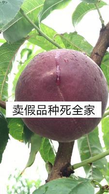 黑桃苗 1~1.5米