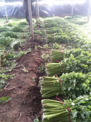 河北省保定市蠡县法国皇后芹菜 45~50cm 0.5~1.0斤 大棚种植