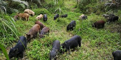 广西壮族自治区梧州市蒙山县特种野猪 统货 60斤以上