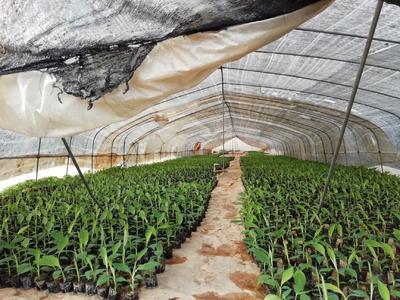 广东省惠州市博罗县巴西香蕉苗  香蕉苗,苹果粉,金粉