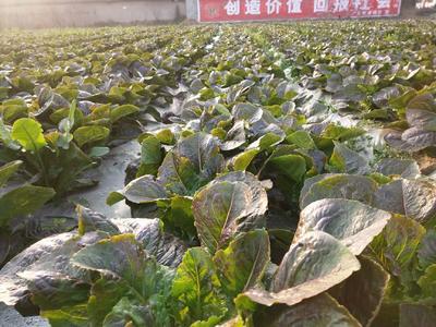 四川省德阳市广汉市青叶莴笋 2斤以上 60-70cm