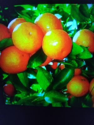 这是一张关于沙糖桔 统货 1 - 1.5两 的产品图片