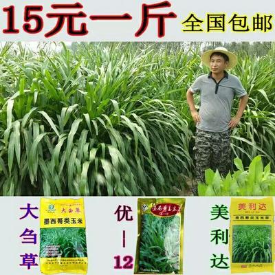 山东省临沂市郯城县墨西哥玉米草  高产型