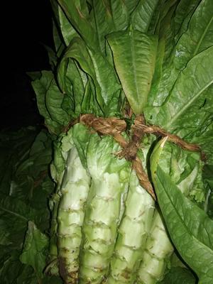 山东省泰安市新泰市青皮尖叶莴苣 1.5~2.0斤 60-70cm