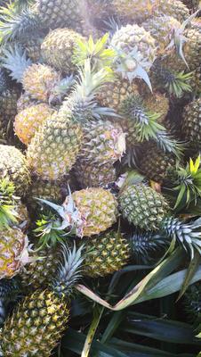 海南省海口市琼山区海南菠萝 2 - 2.5斤