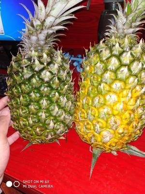 海南省海南省万宁市海南菠萝 2 - 2.5斤
