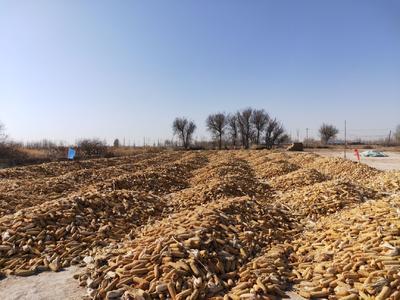 内蒙古自治区巴彦淖尔市临河区登海605玉米 带壳 甜