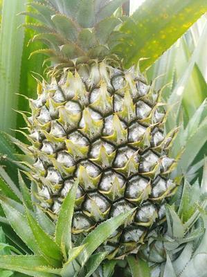 广西壮族自治区百色市右江区河口菠萝 1.5 - 2斤