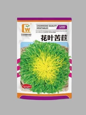 甘肃省酒泉市肃州区苦苣种子