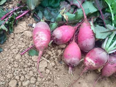 河南省郑州市登封市水果萝卜 1~1.5斤