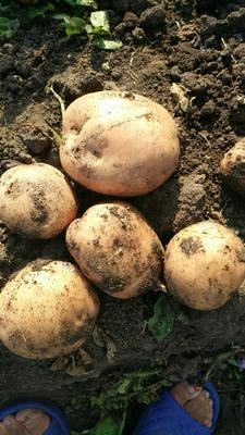 黑龙江省齐齐哈尔市克山县兴佳2号土豆 2两以上