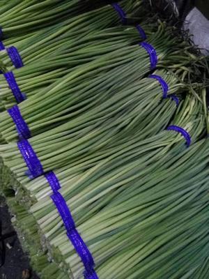山东省济宁市金乡县金乡红帽蒜苔  60~70cm 蒜苔大促销,质优价低