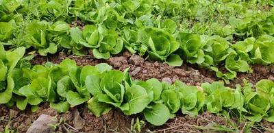 这是一张关于速生小白菜 15~20cm 的产品图片