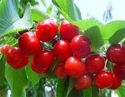 这是一张关于美国一号樱桃苗 的产品图片