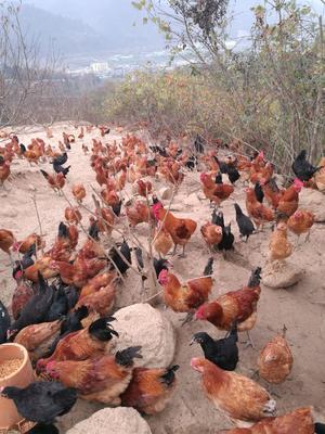 这是一张关于绿壳蛋鸡苗 的产品图片