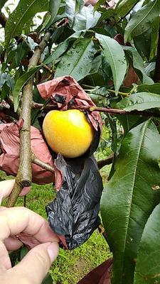 这是一张关于炎陵黄桃 55mm以上 4两以上 的产品图片