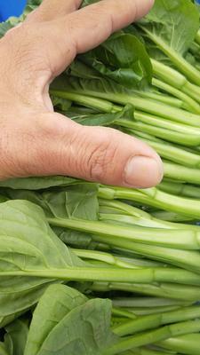 这是一张关于圆叶菜心 15~20cm 的产品图片