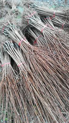 这是一张关于蜂糖李树苗 的产品图片