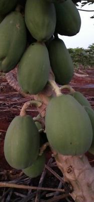 这是一张关于红心木瓜 2 - 2.5斤 的产品图片