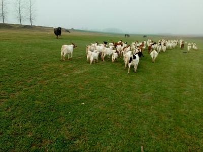 这是一张关于土山羊 50-80斤 的产品图片