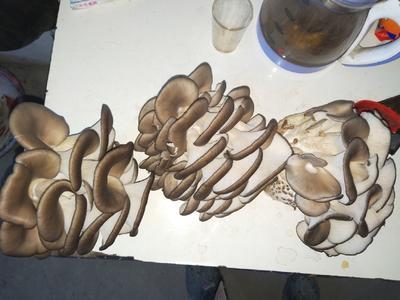 这是一张关于灰平菇 通货 的产品图片