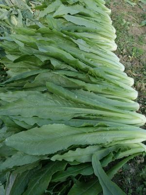 广东省广州市增城区青香油麦菜 20~25cm