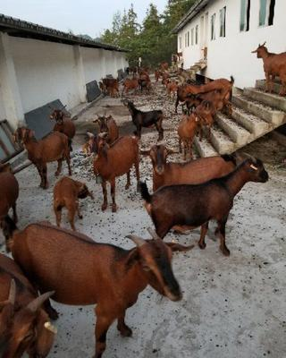 这是一张关于南江黄羊 30-50斤 的产品图片