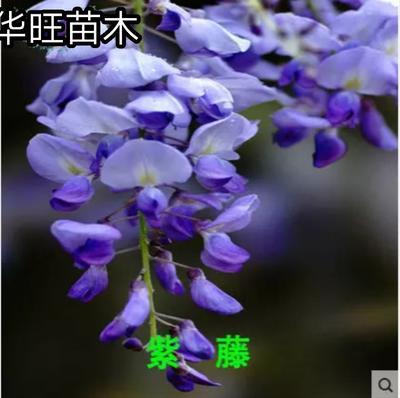 山东省临沂市平邑县丰花紫藤 0.5~1米 1公分以下