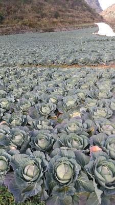 贵州省黔南布依族苗族自治州惠水县铁头3号甘蓝 1.5~2.0斤